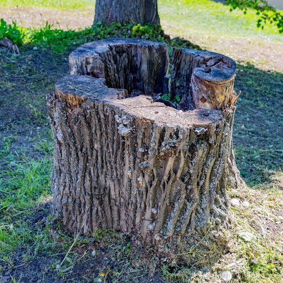 Large old stump in yard