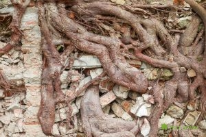 Extensive Root Growth and an Obliterated Brick Wall