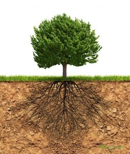 Root Growth Can be Extensive