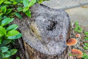 Tree Stumps Can Grow Sprouts